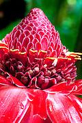 Torch ginger, Hawaii Tropical Botanical Garden, Onemea, Hamakua coast, Island of Hawaii