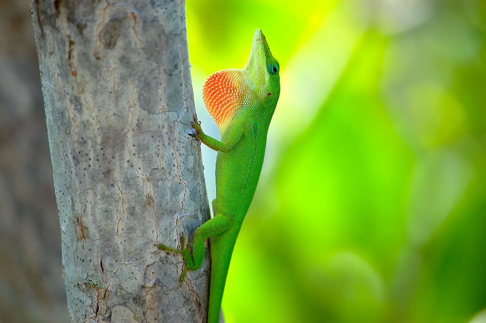 Intensely colorful green anole showing off his red dewlap on Key Largo, Florida. Anolis
