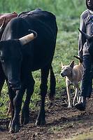 Canis africanus amongst cattle herd, Limpopo floodplain, Maputo Province, Mozambique