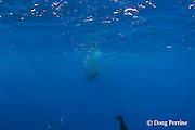 Bryde's whale, Balaenoptera brydei or Balaenoptera edeni, feeding on baitball of sardines, Sardinops sagax, off Baja California, Mexico ( Eastern Pacific Ocean ) #1 in sequence of 7