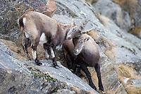 02.11.2008.Alpine Ibex (Capra ibex). Fighting..Gran Paradiso National Park, Italy