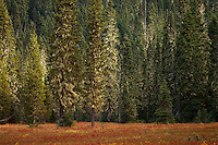 "Autumn colors the Takh Takh Meadow under the encroaching forest with trees festooned with Bearded Lichens. Gifford Pinchot National Forest in Washington state's Cascade Mountain Range near Mount Adams. (""Takh Takh"" is a Taidnapam/Yakama word meaning ""small Prairie"")"