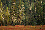 """Autumn colors the Takh Takh Meadow under the encroaching forest with trees festooned with Bearded Lichens. Gifford Pinchot National Forest in Washington state's Cascade Mountain Range near Mount Adams. (""""Takh Takh"""" is a Taidnapam/Yakama word meaning """"small Prairie"""")"""