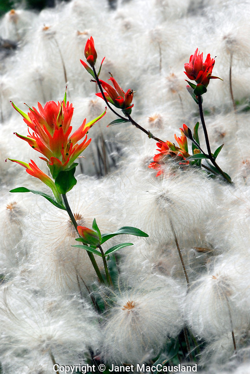 """Alpine wildflowers Dryas octopetala have turned into 2"""" whorls of fluffy seeds, accented by red Indian Paintbrushes (Castilleja coccinea)."""