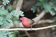 Africa, Ethiopia, Lalibela, Red-billed Firefinch or Senegal Firefinch (Lagonosticta senegala)