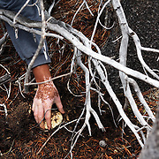 The elusive matsusake mushroom, which fetches a pretty penny in Japanese restaurants, can begin its journey on the floor of the Fremont-Winema National Forest in Chemult, Ore. Here immigrants from Laos, Cambodia and other countries search for the mushrooms, creating a fungal economy and an ad hoc community.