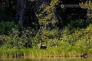 Grizzly bear along Fishercap Lake in Glacier National Park, Montana, USA