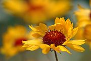 Indian blanketflower, common gaillardia, gaillardia, brown-eyed Susan (Gaillardia aristata) flower<br />Jasper National Park<br />Alberta<br />Canada
