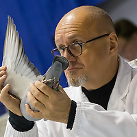 Judge inspects the wing of a bird during the 34th Pigeon Olympiad held in Budapest, Hungary on January 15, 2015. ATTILA VOLGYI