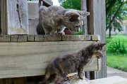 Domestic Shorthair tortoiseshell cat and kitten. Columbus, Ohio, USA. July 2014