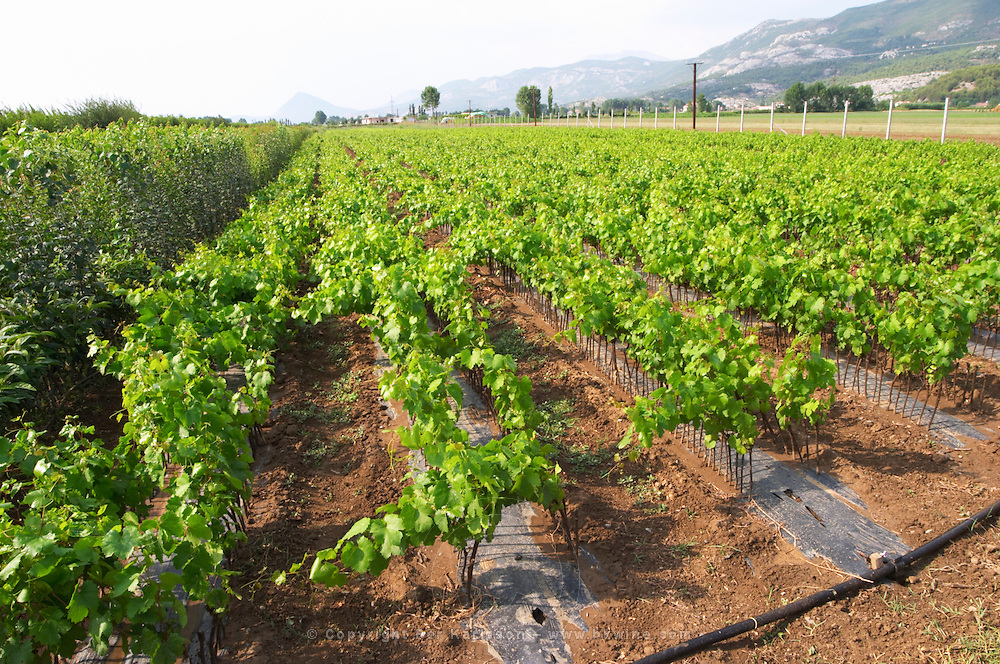 Perspective view over the plantation along the rows of young vines. Fidal vine nursery and winery, Zejmen, Lezhe. Albania, Balkan, Europe.