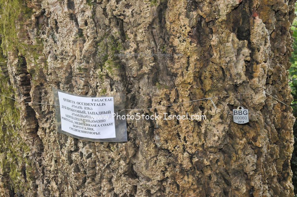 Close up of the bark of a cork oak (Quercus suber) at the Batumi Botanical Garden is a 108 hectare area of land 9 km north of the city of Batumi, capital of Autonomous Republic of Adjara, Georgia.