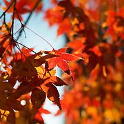 Beautiful fall foliage on a Japanese Maple Tree in Washington DC.