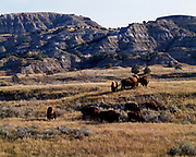 Bison, reintroduced in 1956, grazing among the badlands of the North Unti of Theodore Roosevelt National Park, North Dakota.