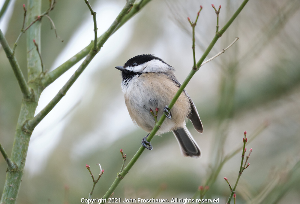 A Black-capped Chickadee seen perching on a branch on a cold winter day, Friday, Feb. 12, 2021, in Tacoma. (Photo/John Froschauer)
