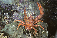 Spiny Squat Lobster - Galathea strigosa