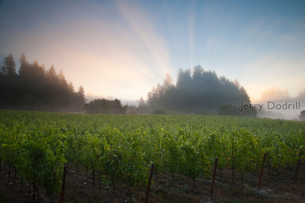 Red Car Wine's La Boheme Pinot Noir Vineyard near Occidental, in Northern California's Sonoma Coast Appellation.