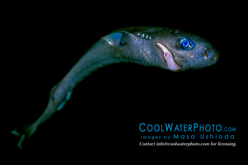 pygmy shark, Euprotomicrus bispinatus, approximately 24 cm, adult female? Kona Coast, Hawaii, Pacific Ocean
