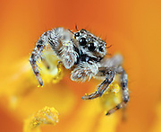 A macro shot of a jumping spider on the stamen of a yellow flower. Shot taken with a 100mm macro lens with extension tubes. This tiny little guys was less than a quarter inch long. Known for their eye patterns and jumping capabilities, jumping spiders have been known to jump 80 times their body length in distance.