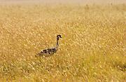 Grey Crowned Crane,  Ngorongoro, Tanzania, East Africa