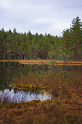Scots pines (Pinus sylvestris) on boggy coasts of small lake in autumn, near Cirgaļi, Vidzeme, Latvia Ⓒ Davis Ulands   davisulands.com