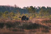 Capercaillie, Photo by Davis Ulands | davisulands.com