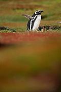 Der Magellanpinguin (Spheniscus magellanicus) sucht zum Nisten Küstenstreifen mit weichen Böden auf und brütet dort in selbstgegrabenen Erdhöhlen. | During the reproduction period the Magellanic penguin (Spheniscus magellanicus) can be found on coasts with soft soil where it breeds in burrows excavated by itself.