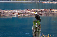 A Bald Eagle (Haliaeetus leucocephalus) perched at the Harrison River during the Fraser Valley Bald Eagle Festival in British Columbia, Canada