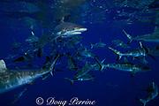 gray reef sharks, Carcharhinus amblyrhynchos, Bikini Atoll, Marshall Islands, Micronesia ( Pacific Ocean )