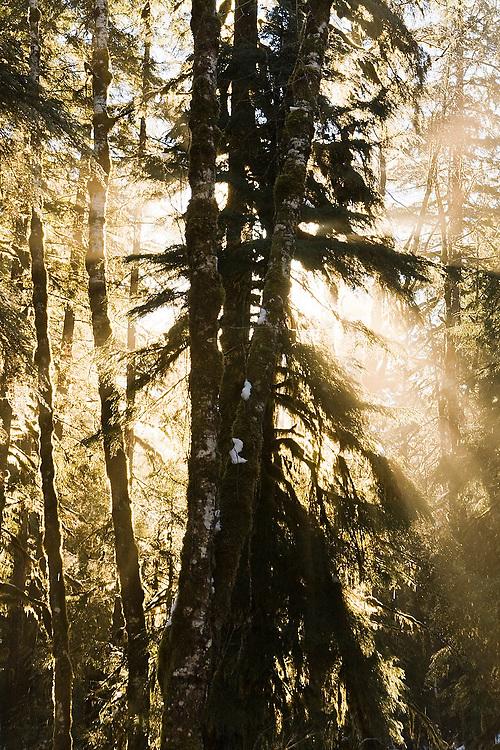 Morning sun rays shine through a misty forest along Goodell Creek in North Cascades National Park, Washington.