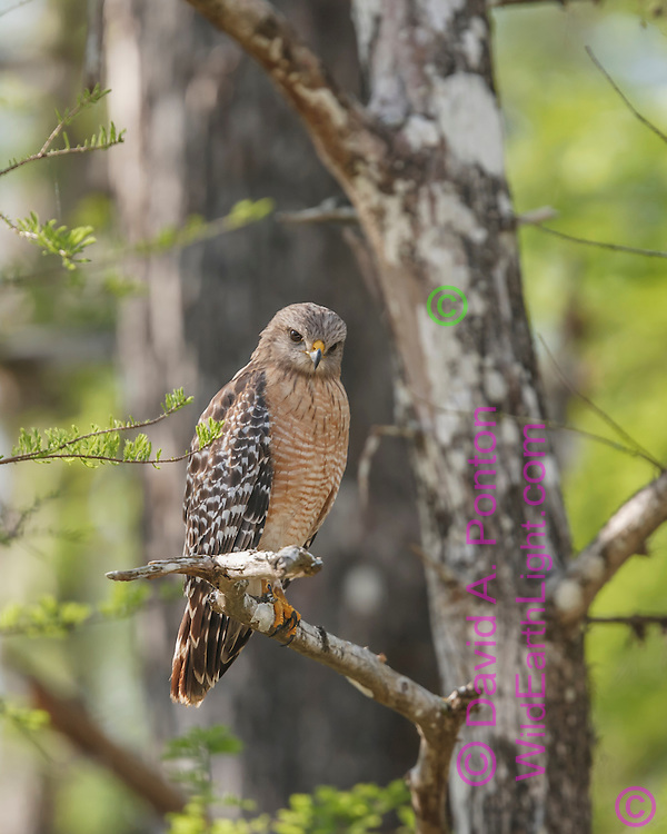Red-shouldered hawk hunting from high perch in wet cypress forest in Big Cypress National Preserve, © David A. Ponton