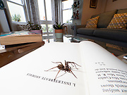 House Spider (Tegenaria domestica) on book in house, Kent UK