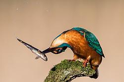 Action shots of a kingfisher having lunch (c) Ross Eaglesham| Edinburgh Elite media