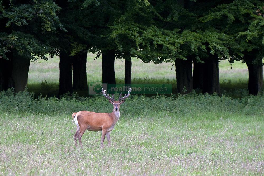 July 21, 2019 - Deer With Antlers (Credit Image: © John Short/Design Pics via ZUMA Wire)