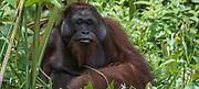 Orang Utan<br /> Sabah<br /> Borneo<br /> Malaysia