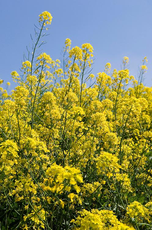 Nederland,  Zeewolde, 10 mei 2006..Bloeiend koolzaad.Koolzaadolie wordt ook gebruikt als biodiesel. Biodiesel is wat betreft CO2 uitstoot neutraal. . .Foto (c) Michiel Wijnbergh