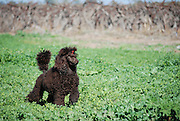 brown miniature poodle playing outdoors - Property Release Available