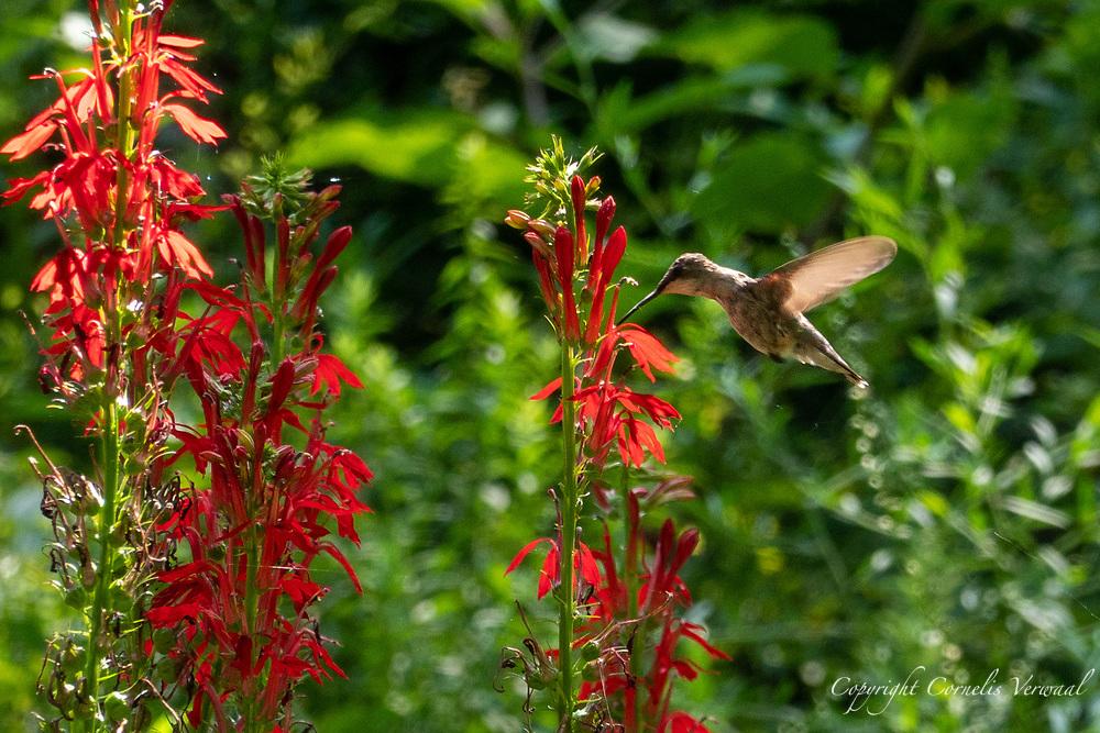 A Hummingbird snacks on some nectar in Shakespeare Garden, Central Park; Monday Aug. 17, 2020.