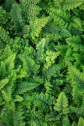 Polystichum setiferum 'Plumosum Densum' syn. Polystichum setiferum Plumosomultilobum Group - Mossy soft shield fern