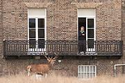 Red deer stag beneath house balcony on edge of Bushy Park. London, UK.