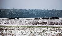Podlasie, 30.11.2020. Pierwsze wieksze opady sniegu na Podlasiu tej zimy N/z stado zubrow na osniezonym polu na obrzezach Puszczy Knyszynskiej fot Michal Kosc / AGENCJA WSCHOD