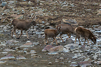 A herd of White-lipped deer also called Thorold's deer, Cervus albirostris, 白唇鹿, crossing a river at the tibetan plateau in Serxu, Garze Prefecture, Sichuan Province, China