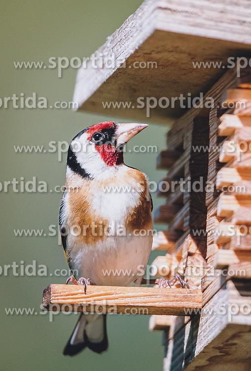 THEMENBILD - ein Stieglitz auf einem Vogelhäuschen. Die farbenprächtige Vogelart zur Familie der Finken (Fringillidae), aufgenommen am 06. Juni 2020 in Piesendorf, Oesterreich // a goldfinch on a birdhouse. The colourful bird species of the finch family (Fringillidae), in Piesendorf, Austria on 2020/06/06. EXPA Pictures © 2020, PhotoCredit: EXPA/Stefanie Oberhauser