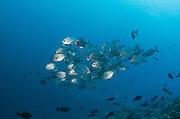 Whitetongue Jack (Urapsis helvola)<br /> Cenderawasih Bay<br /> West Papua<br /> Indonesia