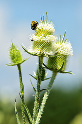 24 July 2018:   Comlara Park nature: Teasel (Dipsacus) begins to bloom attracting several types of insects to help with pollination.  Insects include honey bees (Apis), bumble bees (bombus), butterflies, and various others.