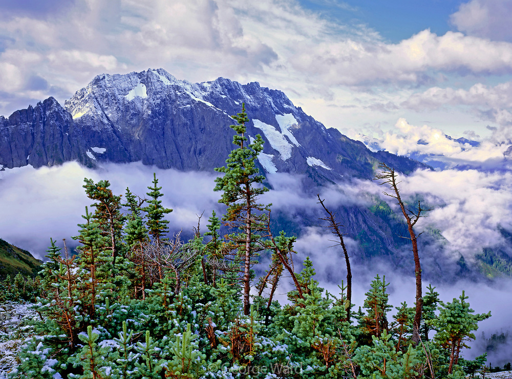 Subalpine Fir and Cascade Peak from Sahale Arm, North Cascades National Park, Washington