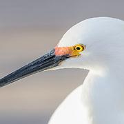 Profile portrait of snowy egret (Egretta thula) exhibiting reddish lores which develop during the breeding season.