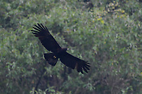 Black eagle, Ictinaetus malaiensis, caught in flight at He Xin Chang Forest reserve, Dehong Prefecture, Yunnan Province, China