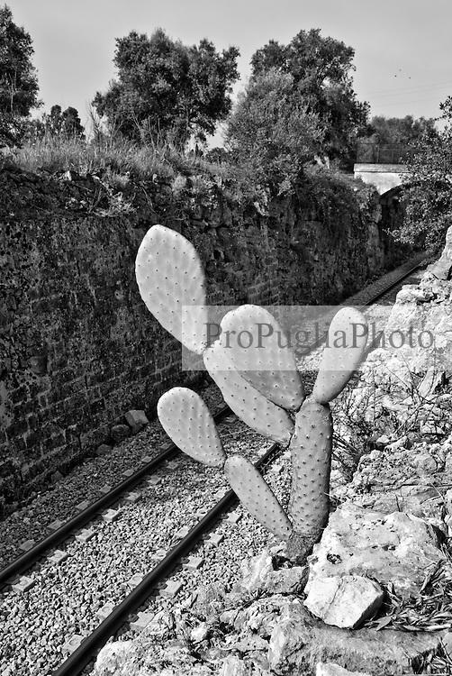camminando in un uliveto attarversato dalla linea ferroviaria, una pianta di fico d'India è riuscita a crescere tra le rocce. Reportage che racconta le situazioni che si incontrano durante il viaggio lungo le linee ferroviarie SUD EST nel Salento.