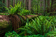 Ferns growing next to and on top of fallen redwood tree in forest at Stout Grove, Jedediah Smith Redwoods State Park, California